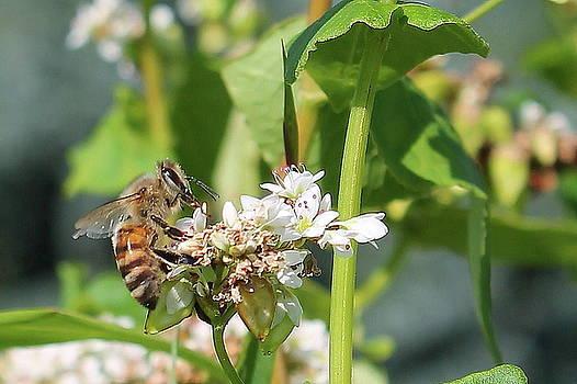Honeybee on Buckwheat  by Bethany Benike