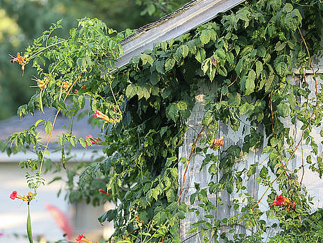 Honeysuckle Vines On Barnside by Theresa Campbell