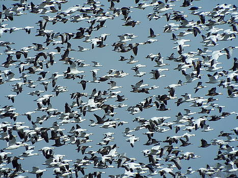 Honk If You love Geese by Caryl J Bohn