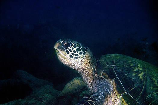 Pauline Walsh Jacobson - Honu, Green Sea Turtle 1