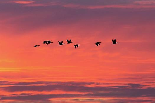 Horicon Marsh Geese by Paul Schultz