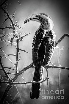 Pravine Chester - Hornbill resting
