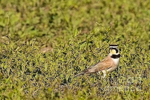 Horned Lark on the Prairie by Natural Focal Point Photography