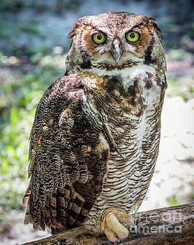 Horned Owl  by Edie Ann Mendenhall