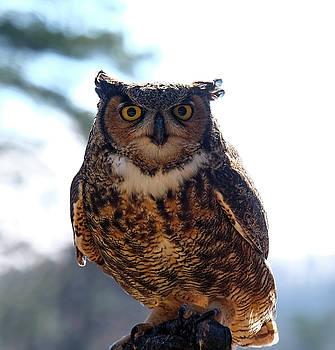 Horned Owl by Ronda Ryan