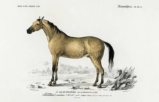 Horse - Equus ferus caballus illustrated by Charles Dessalines by Charles Dessalines D' Orbigny