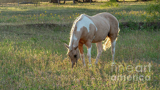 Horse feeding in Grass Farm with Sunset Light from the Left by PorqueNo Studios