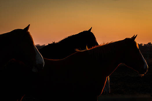 Horses Evening Glow by Toni Thomas
