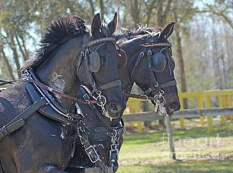 Horses in Harness  by Dodie Ulery
