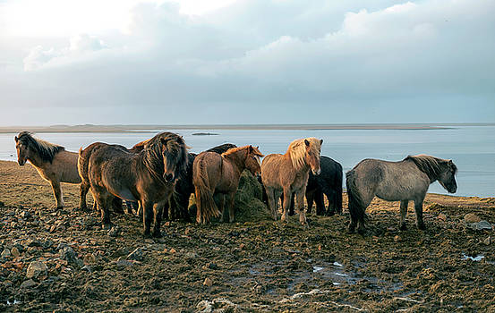 Horses in Iceland by Dubi Roman