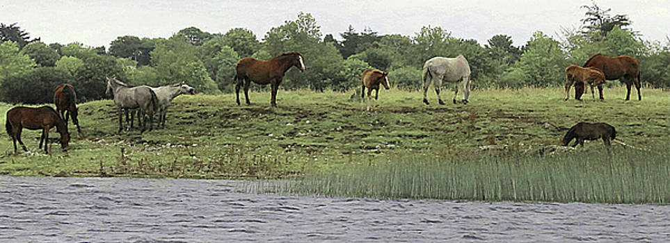 Horses on Ireland's River Shannon by Walter E Koopmann