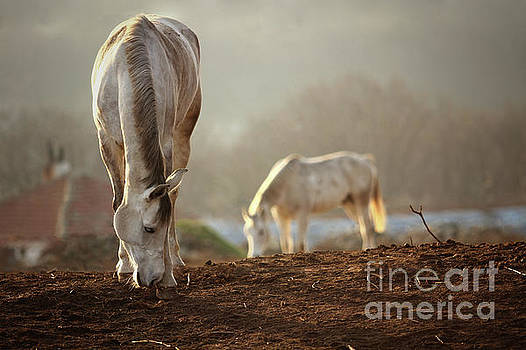 Dimitar Hristov - Horses Winter Grazing