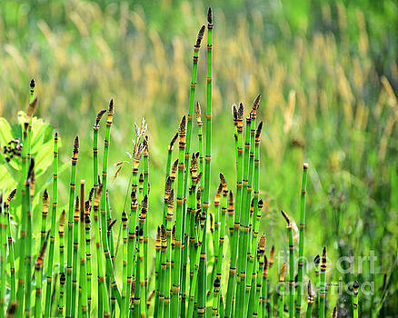 Horsetail Rush by Kathy M Krause
