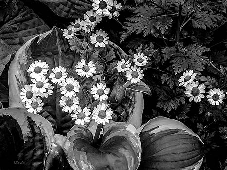 Bill Linn - Hosta Daisies