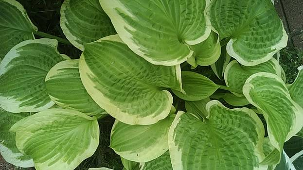 Hostas Galore by Connie Young