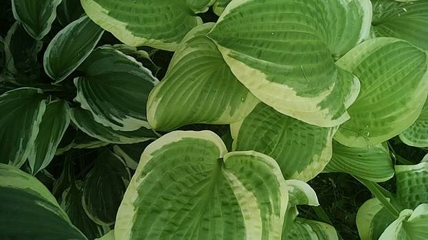 Hostas Galore Too by Connie Young
