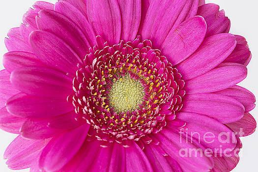 Hot Pink Gerbera Daisy by Cindi Ressler
