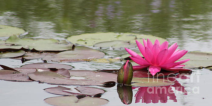 Hot Pink Lily and Bud by Vivian Bound