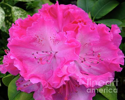 Hot Pink Rhoda by Julia Underwood