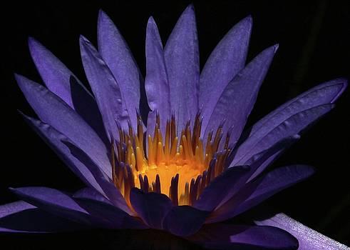 Sabrina L Ryan - Hot Purple Water Lily