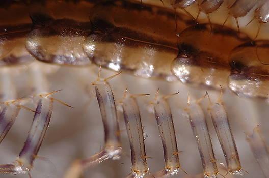 House Centipede by Dave Fischer