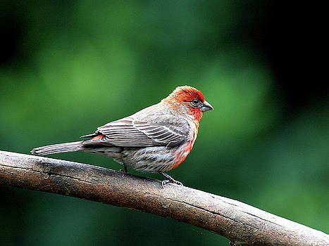 Wingsdomain Art and Photography - House Finch . 40D7227