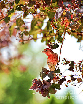 House Finch Hanging Around by Kerri Farley