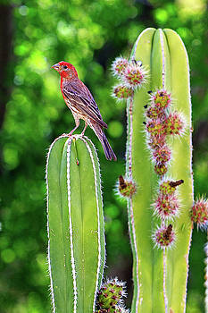 House Finch on Blooming Cactus by Susan Schmitz