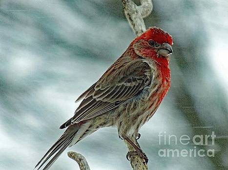 Cindy Treger - House Finch - Weathering The Storm