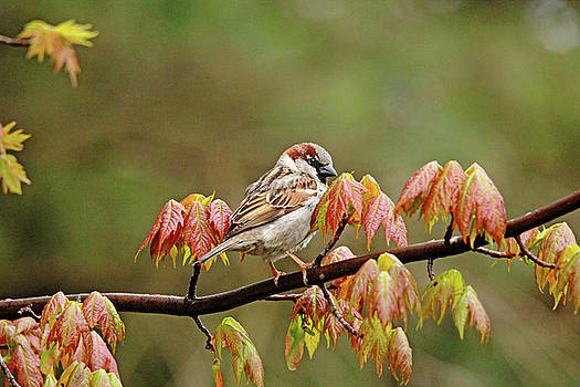 House Sparrow In Spring Maple Tree by Debbie Oppermann