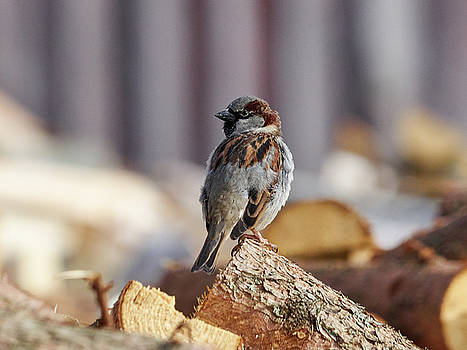 House sparrow by Jouko Lehto
