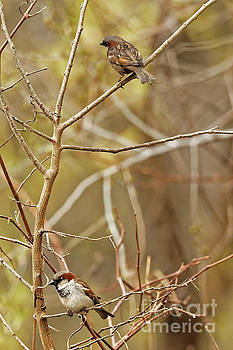 House Sparrows by Natural Focal Point Photography