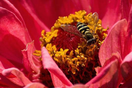 Hoverfly by Cowboy Visions