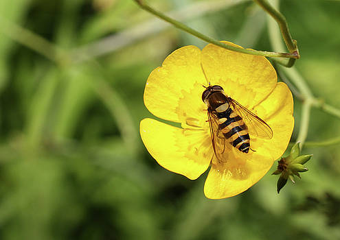 Hoverfly on buttercup by Jouko Mikkola