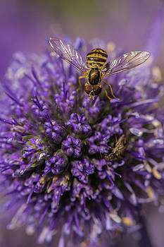 Hoverfly on Sea Holly by Karen Forsyth