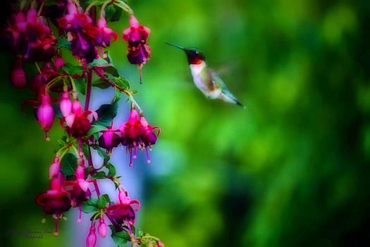 Darlene Bell - Hovering Hummingbird