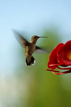 Hovering Hummingbird by Sherry Vance
