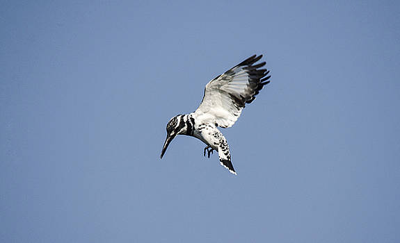 Manjot Singh Sachdeva - Hovering Of White Pied Kingfisher