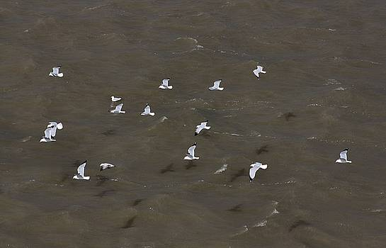 Hovering Seagulls by Gothicrow Images