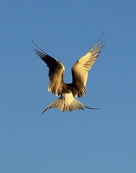 Hovering Tern by Ron  Romanosky