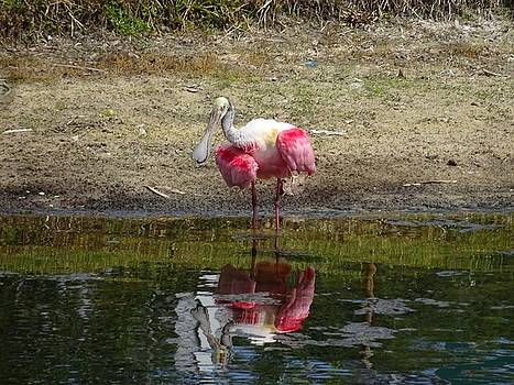 How do you do Mr. Roseate Spoonbill by Red Cross