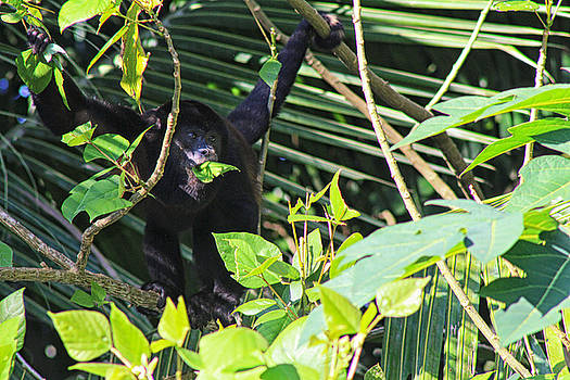 Howler Monkey by L L