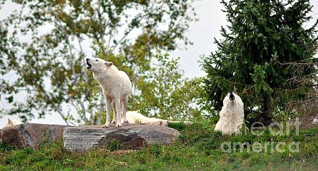 Howling Arctic Wolves by Elaine Manley
