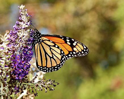 Hues of Autumn Monarch by Lara Ellis