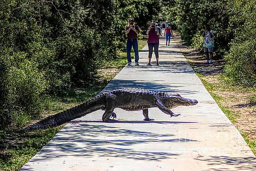 Paulette Thomas - Huge Gator Crossing The Path