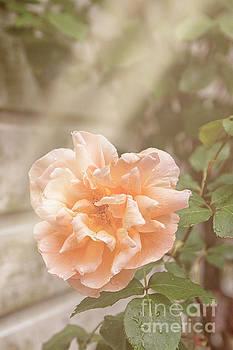 Patricia Hofmeester - Huge pink rose in garden