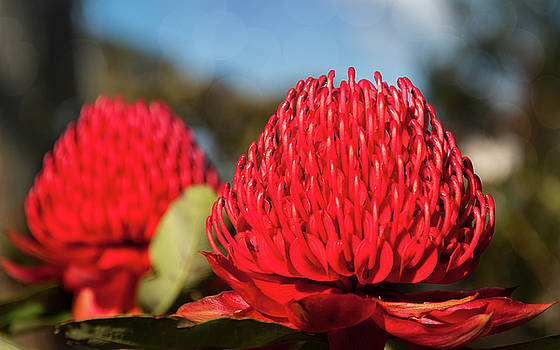 Huge red Waratah flowerheads in spring by Daniela Constantinescu