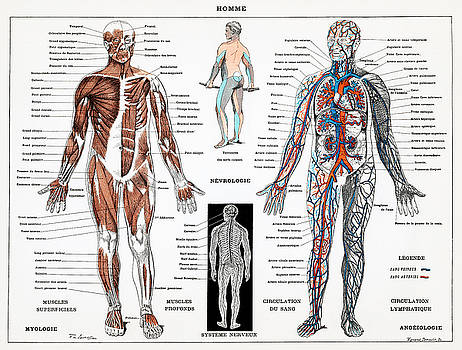 Human nervous and muscular system by Unknown
