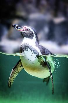 Humboldt penguin in water by Libor Vrska