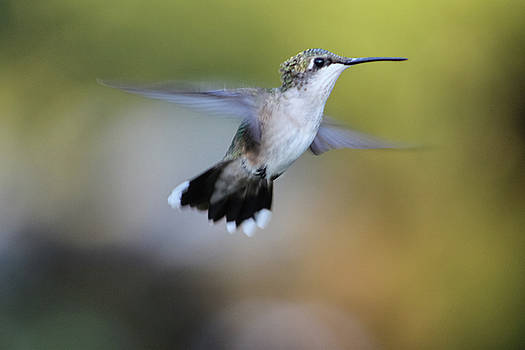 Hummer In Flight by Mauverneen Blevins